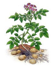 planta de patata
