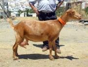 Ejemplar de cabra malagueña