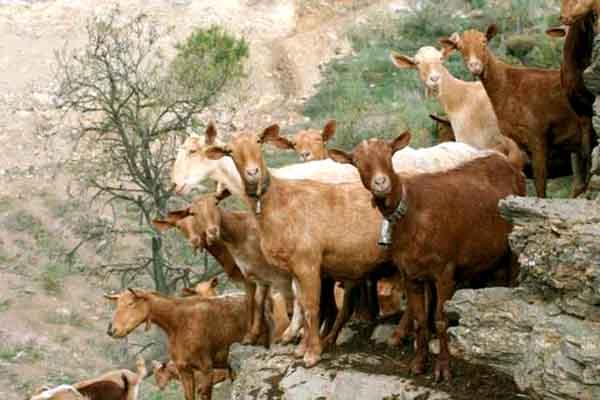 El choto o chivo lechal malague o pepekitchen for Como cocinar carne de chivo